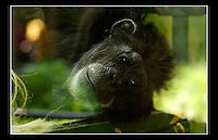 Chimpanzee (Pan troglodytes) - Zoological Society of London - 15th June 2003