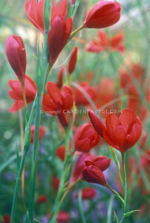 Schizostylis coccinea 'Major' in red flowers