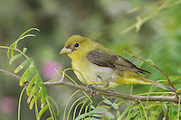 Scarlet Tanager, Piranga olivacea, female, South Padre Island, Texas, USA, May 2005