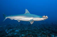 scalloped hammerhead shark, Sphyrna lewini, Moku Hooniki, or Mokuhooniki, Pailolo Channel, Molokai, Hawaii, USA, Pacific Ocean