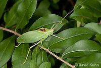 0815-0905  Common True Katydid (Northern True Katydid), Pterophylla camellifolia © David Kuhn/Dwight Kuhn Photography