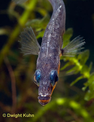 1S14-551z  Male Threespine Stickleback, Mating colors showing bright red belly and blue eyes, close-up of face, Gasterosteus aculeatus,  Hotel Lake British Columbia