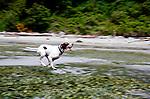 German Shorthair Dog Running on Puget Sound Beach