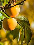 Italy, Alto Adige - Trentino (South Tyrol), Community Appiano sulla Strada del Vino: fruit of the Kaki Persimmon tree | Italien, Suedtirol, bei Bozen, Gemeinde Eppan: Fruechte des Kakibaums
