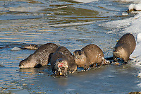 Northern River Otter (Lontra canadensis) feeds on trout it has caught while other otter try to steal a bite.