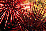 Santa Cruz Island, Channel Islands, California; detail view of the intersection of spines from two Red Sea Urchin (Strongylocentrotus franciscanus) , Copyright © Matthew Meier, matthewmeierphoto.com All Rights Reserved