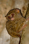 Tarsier on tree at dusk in Tangkoko Park, Sulawesi Indonesia.  The Spectral Tarsier has the largest eye to body size ratio of all of the mammals, Tarsiers are also the smallest of the primates