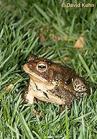 0304-0923  American Toad on Grass in Backyard, © David Kuhn/Dwight Kuhn Photography, Anaxyrus americanus, formerly Bufo americanus