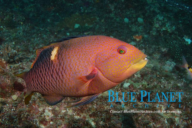 Saddleback pigfish, Bodianus perdito, sub-adult. Flat Rock, Brisbane, Queensland, Australia, South Pacific Ocean