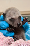 3-4 day old Raccoon is under the care of the Birdsey Cape Wildlife Center in Barnstable, Cape Cod, Massachusetts, medium shot.  Close-up head and face.