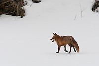 Rotfuchs, Rot-Fuchs, Fuchs, läuft im Winter über eine Schneefläche, Vulpes vulpes, red fox