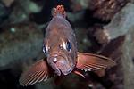 Acadian Redfish swimming to camera
