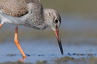 Common Redshank (Tringa totanus) on coastal mudflats. Rakhine State, Myanmar. January.