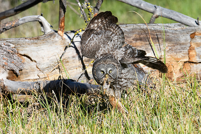 Great Gray Owl (Strix nebulosa) with chipmunk prey. Deschutes County, Oregon.
