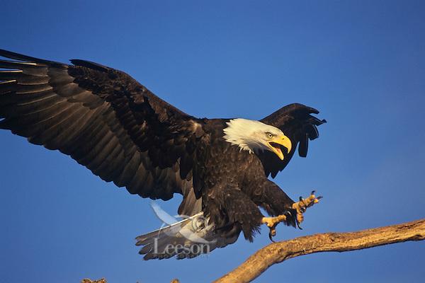Bald eagle (Haliaeetus leucocephalus) landing