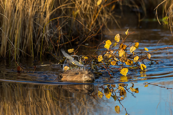 North American Beaver (Castor canadensis) pulling/towing aspen tree limb down small channel towards its lodge.  The beaver will store this limb underwater near its lodge where it will use it for winter food after the pond has frozen over.    Northern Rockies,  Fall.