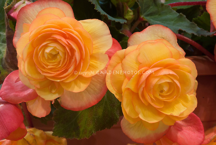 Begonia 'Apricot Fragrant Falls' orangey flower, scented blooms