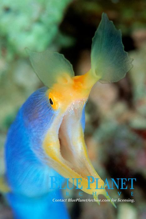 ribbon eel, Rhinomuraena quaesita, Female, Onemoba'a, Tomia, Kepulauan Wakatobi National park, Southeast Sulawesi, Indonesia, Banda Sea, Indian Ocean