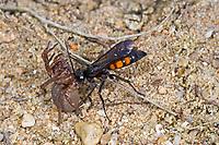 Frühlings-Wegwespe, Frühlingswegwespe, mit erbeuteter Spinne, Anoplius viaticus, Anoplius fusca, black-banded spider wasp, Pompilidae, Wegwespe, spider wasps, pompilid wasps, spider wasp, pompilid wasp, les Pompiles