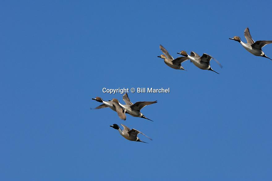 00300-025.03 Pintail Duck (DIGITAL) flock in flight against blue sky.  Action, waterfowl, hunt, wetland, fly, bird, birding.  H3L1