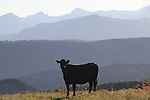 Black Angus cow on a ranch in the San Juan Mountains, Colorado.