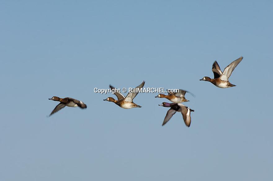 00342-007.01 Lesser Scaup (DIGITAL) flock in flight against blue sky.  Bluebill, action, hunt, waterfowl, wetland, fly.  H2L1
