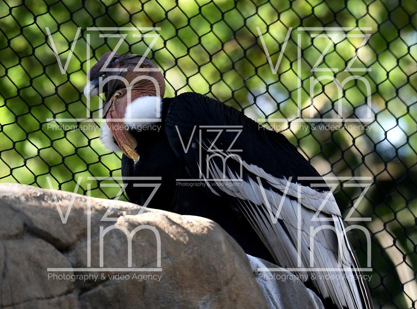 CALI - COLOMBIA - 27 - 09 - 2017: Condor de los Andes (Vultur Gryphus), especie de ave en el Zoologico de Cali, en el Departamento del Valle del Cauca. / Condor of the Andes (Vultur Gryphus), species of bird in the Zoologist of Cali, in the Department of Valle del Cauca. / Photo: VizzorImage / Luis Ramirez / Staff.