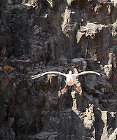 Stock image of a Pelican descending down a valley.
