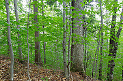 Hardwood Forest in the area in the Haskell Brook drainage in Albany, New Hampshire during the summer months. Maple and beech are the dominate trees.