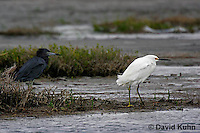 0203-08oo  Little Blue Heron (Egretta caerulea) and Snowy Egret (Egretta thula) © David Kuhn/Dwight Kuhn Photography