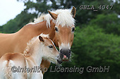 Bob, ANIMALS, REALISTISCHE TIERE, ANIMALES REALISTICOS, horses, photos+++++,GBLA4047,#a#, EVERYDAY