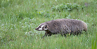I was fortunate to see a few badgers this spring, including one of the better den sites I've photographed in recent years.
