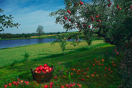 Abundant apple harvest -- collected in old bushel basket in orchard near lake, Midwest