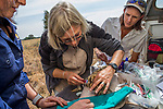 Black-footed Cat (Felis nigripes) biologist, Beryl Wilson, and veterinarian, Birgit Eggers, shaving neck hairs to draw blood during collaring with farmer, Nikki Gibbs, Benfontein Nature Reserve, South Africa