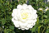 Dahlia 'White Ballerina'