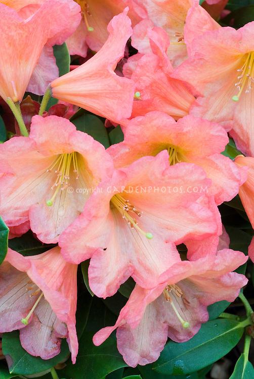 Rhododendron 'September Song' in  flower in spring, Evergreen Azalea
