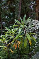 Echium pininana (Tree Echium)  in Elisabeth Miller Botanical Garden