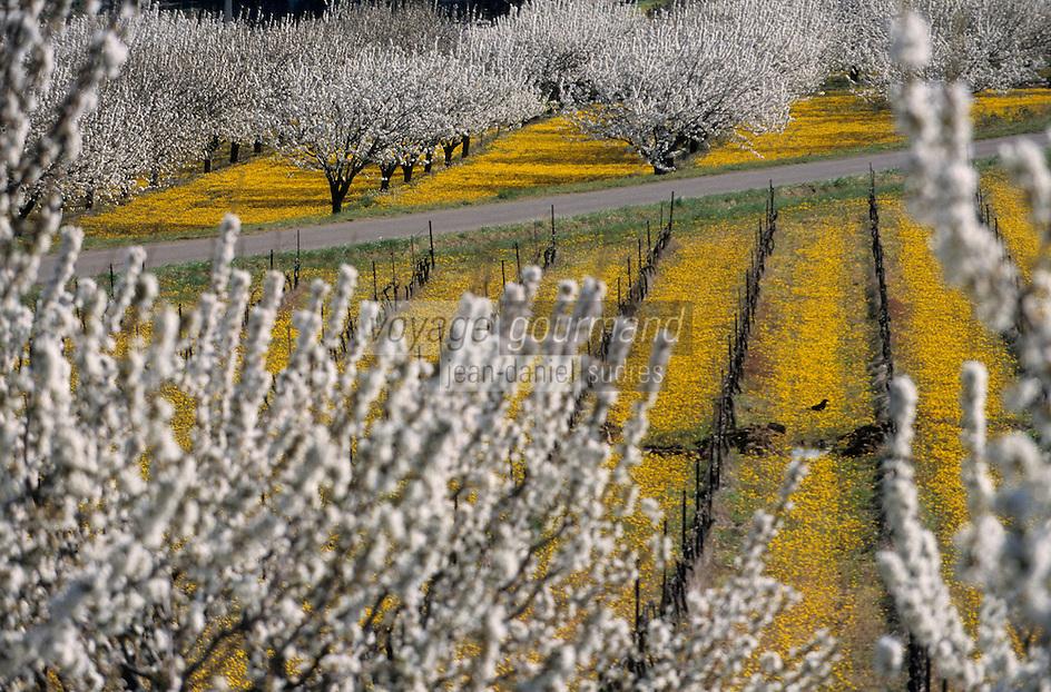 Europe/France/Provence-Alpes-Cote d'Azur/Vaucluse/ env de Bonnieux: vignes et vergers de fruitiers en fleurs au printemps-AOC Côtes du Lubéron