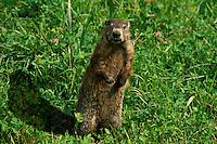 Groundhog (Marota monax) and his shadow