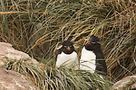 A rockhopper penguin pair in tussock grass of West Point Island in Falkland Islands.