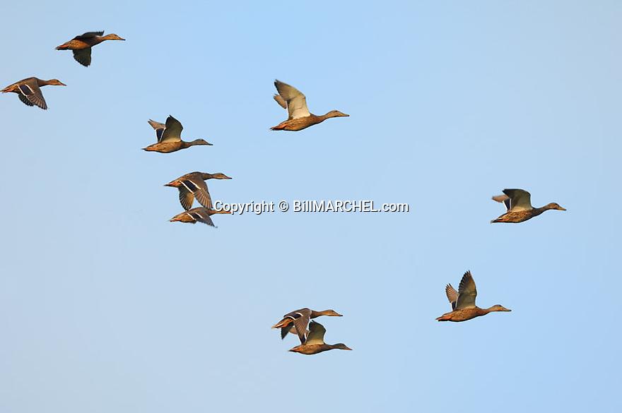 00330-067.13 Mallard Duck (DIGITAL) flock of immature birds in flight. Green bills on drakes, orange bill on hens.   Hunt, action. H2R1