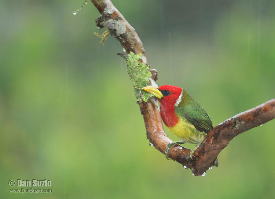 Male red-headed barbet, Eubucco bourcierii, perched on a branch in light rain. Tandayapa Valley, Ecuador