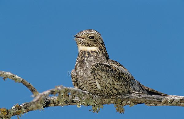 Lesser Nighthawk, Chordeiles acutipennis, adult on branch, Lake Corpus Christi, Texas, USA
