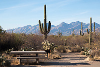 A picnic table is seen among Saguaro cactus in the Cactus Forest area of Saguaro National Park (Rincon Mountain District) near Tucson, Arizona, USA.