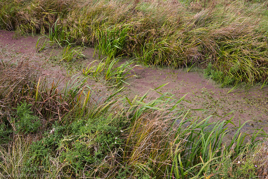 Habitat of Little Whirlpool Ramshorn Snail (Anisus vorticulus) Pulborough Brooks SSSI RSPB Reserve, West Sussex, UK. September.