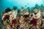 Lembeh Strait, Indonesia; colorful feather stars and sponges cover the rocky reef above Angel's Window