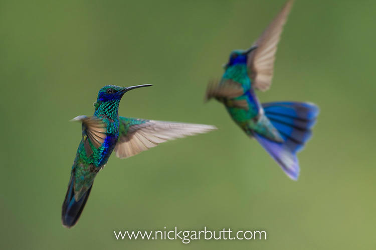 Two male sparkling violetear (Colibri coruscans) hummingbirds sparring / fighting, at Jardin Encantado (The Enchanted Garden), mid-elevation Andes, outside Bogota, Colombia.