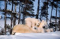 polar bear, Ursus maritimus, mother and cubs, sleeping peacefully, Spruce Grove, Wapusk National Park, Manitoba, Canada