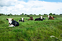 Cattle on grass - Lincolnshire, June