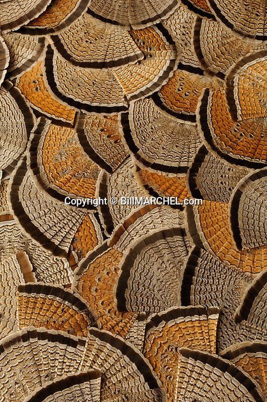 00515-070.19 Ruffed Grouse tail fans display a variety of color phases. Hunting, ruffs, feathers, aspen, forest.  V0E1